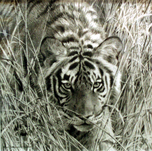 """Tall Grass Tiger"" - pencil study by Carl Brenders"